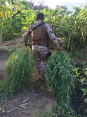 Homem com plantação de maconha é preso pelo Cotar na AIS 15