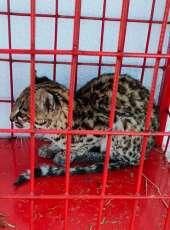 Filhote de gato-do-mato-pequeno é resgatado pelo Corpo de Bombeiros em Tauá